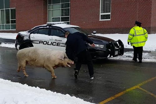 Huge pig visits polling station in New Hampshire