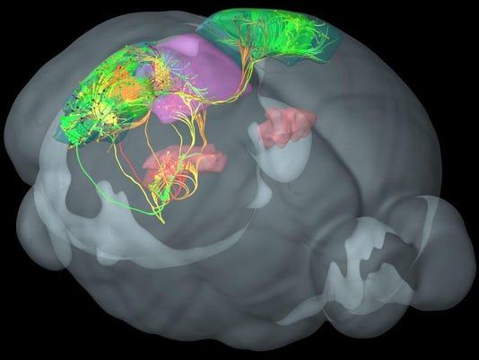 2014 205294719-Mouse_Brain_Diagram_NY622_WEB707904.jpg_20140402.jpg