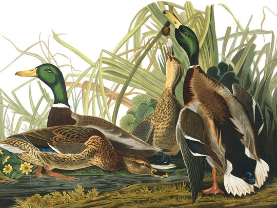 Mallard Duck from The Birds of America, Havell Edition, London 1834. Audubon's Birds of America begins May 7 at the Paine Art Center and Gardens.