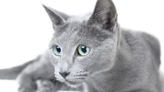 Russian blue cat.