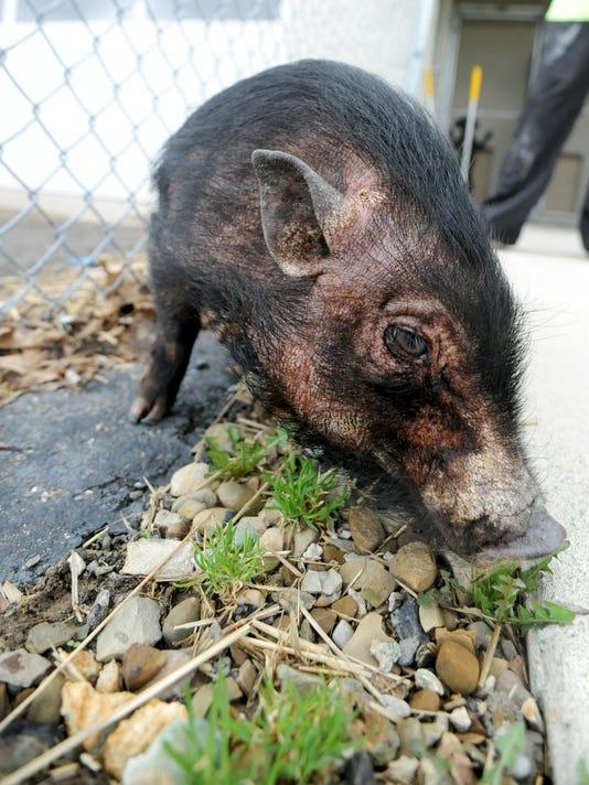 BUC 0411 Adopt a pig.jpg