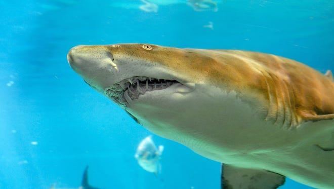 A sand tiger shark is seen at New York Aquarium in Coney Island. Scientists have discovered a nursery ground for sand tiger sharks in an estuary off the southern shore of Long Island.