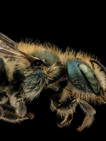 "Blue orchard mason bees are one of the six ""Bee Buddies"""