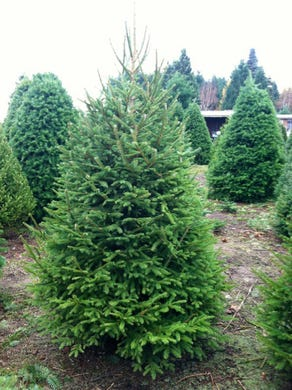 christmas tree shopping guide know your varieties