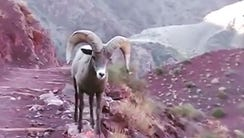 A group of hikers had a close encounter with a bighorn