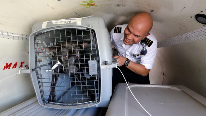 Wings of Rescue co-pilot Jose G. Martinez reaches for one of the last of a load of 35 dogs from Texas shelters flown to make space for companion animals rescued in the Hurricane Harvey aftermath Aug. 30, 2017, in Seattle. The dogs arriving in Seattle were already in Texas shelters when Harvey hit and are being transferred to Seattle-area shelters so animals displaced from the flooding can be cared for in Texas until they can be reunited with their families there.