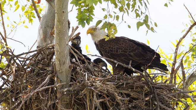 A female bald eagle sits on her Scottsdale nest with her two eaglets on Oct 22, 2017.