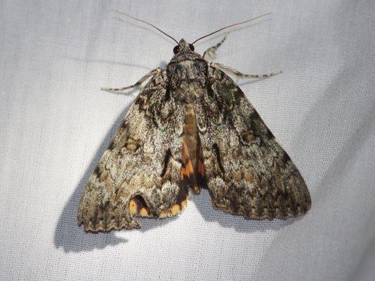 636058218106932414-Moth-4.jpg