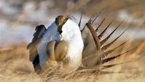 """FILE - In this April 15, 2008 file photo, a male sage grouse performs his """"strut"""" near Rawlins, Wyo.  U.S. Agriculture Secretary Tom Vilsack plans to announce Thursday, Aug. 27, 2015 that his agency plans to spend more than $200 million over the next three years on programs to protect greater sage grouse, regardless of whether the bird receives federal protections. Vilsack told The Associated Press he wants to almost double protected habitat for the chicken-sized bird to 8 million acres across the West. (Jerret Raffety/The Rawlins Daily Times via AP, File) MANDATORY CREDIT"""