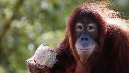 """FILE - In this Dec. 31, 2015, file photo, Tsunami, an eleven year old female Sumatran Orangutan eats fruit during her birthday celebration at the National Zoo Ape Center in Kuala Lumpur, Malaysia. Primates are heading toward an extinction crisis, a new international study warns. And it's our fault that our closest biological relatives are in trouble, scientists said. About 60 percent of the more than 500 primate species, such as gorillas, monkeys and lemurs, are """"now threatened with extinction"""" and three out of four primate species have shrinking populations, according to a study by 31 primate experts published in the Jan. 18, 2017, journal Science Advances."""