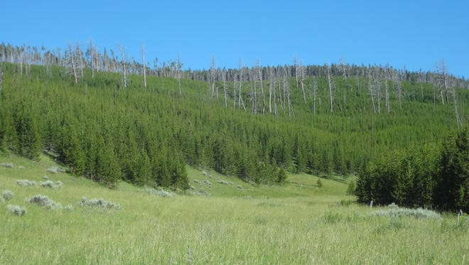 Dense regeneration of lodgepole pines in West-central Yellowstone National Park as seen in 2013, 25 years after the 1988 Yellowstone fires.