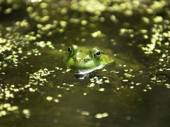 A frog keeps cool in a pond at Flat Rock Brook Nature Center in Englewood. The center offers 3.2 miles of trails.