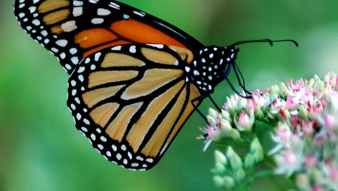 A monarch butterfly rests and feeds in West Des Moines on its long journey south.