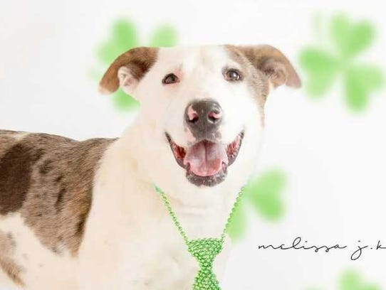 Liam - Male (neutered) catahoula, about 1 year old.