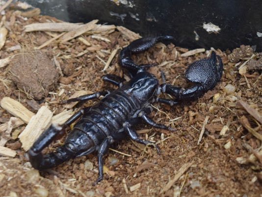 Visitors to Bug Day can see an emperor scorpion up close through a glass case Saturday, June 2, 2018 at Kent Plantation House. This is the 11th year for the event hosted by Kent House and the U.S. Forest Service.