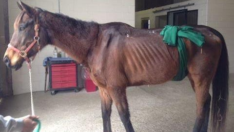 Toby, a 9-year-old thoroughbred, died after emergency surgery in March. The horse's owner, Kelly Schreiber, has pleaded guilty to animal cruelty charges.