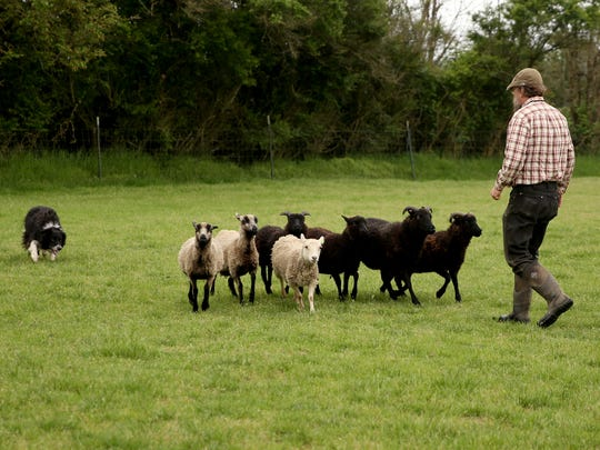 Ian Caldicott, 53, of Scio, and his 4-year-old border collie, The Asp!, herd sheep together at Wolston Farm in Scio on Thursday, May 17, 2018.