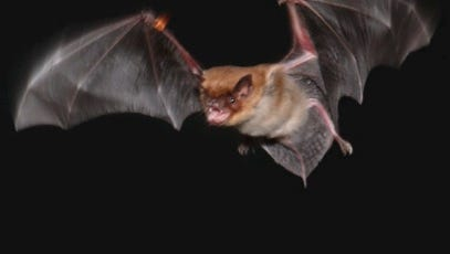 Pennsylvania bats include Eptesicus fuscus -- the brown bat. The decline in bat populations has a number of ramifications.