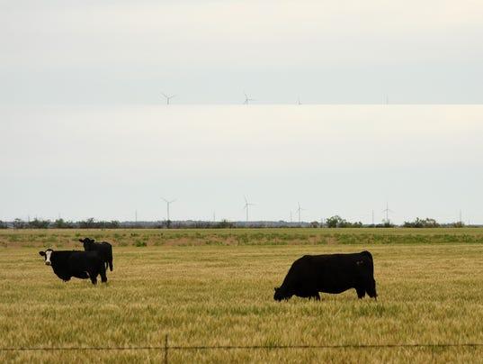 cattle-grazing-on-wheat.jpg