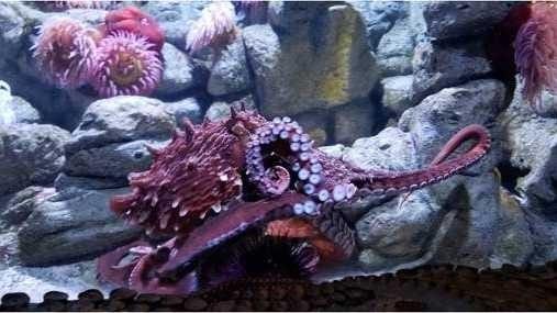 Tatoosh the octopus makes New England Aquarium debut in Boston.