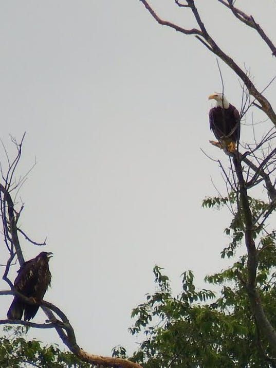 One of the two fledglings from the nest at Codorus State Park sits on a tree branch while one of its parents, above, watches.