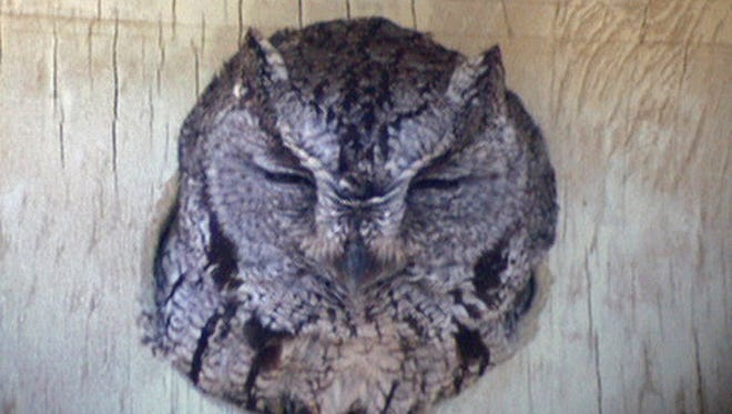 A western screech-owl peers out of a nest box.