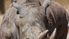 LouLou, a 20-year-old southern white rhino has come