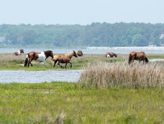 A herd of wild horses grazes in the marsh at Assateague