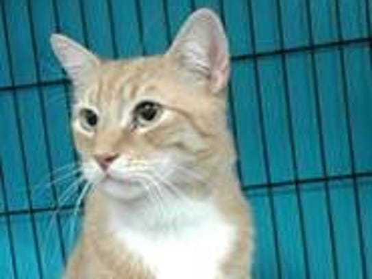 Tribble is a 5-year-old orange tabby. Tribble does