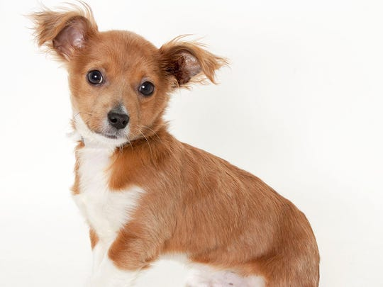 Rudy, a 3-month-old male Chihuahua mix puppy. No. 95767.