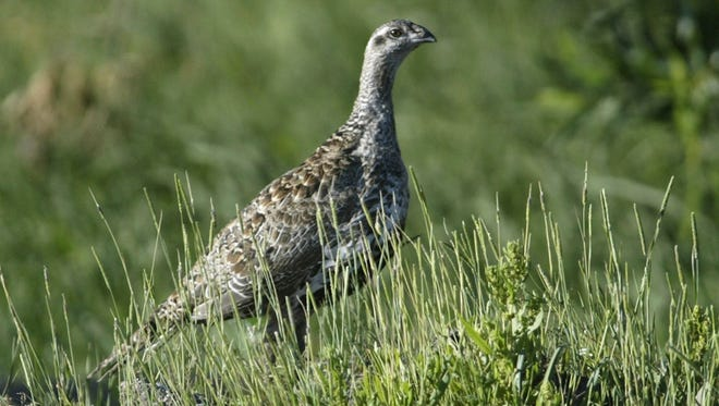 A sage grouse stands in a meadow on July 25, 2005, at the Smith Creek Ranch, east of Fallon, Nev. A federal judge has handed a rural Nevada water district another defeat it its attempt to speed construction of a water tank in sage grouse habitat near the Utah line in a legal battle now expected to drag into the summer.
