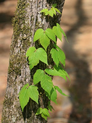 The best way to deal with poison ivy is to know what it looks like and avoid it.