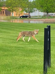 This coyote was spotted roaming near Cummingston Park