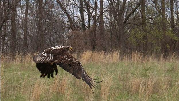A bald eagle is released in Sussex County on Friday, April 8, 2016, after it was rehabilitated following an incident in March that incapacitated several birds and killed five. The cause is still unknown.