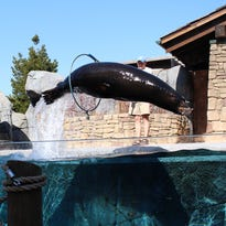 Sea lion spring training at the STL Zoo