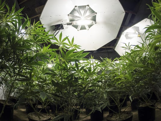 Marijuana Plants Looking Up at Lights