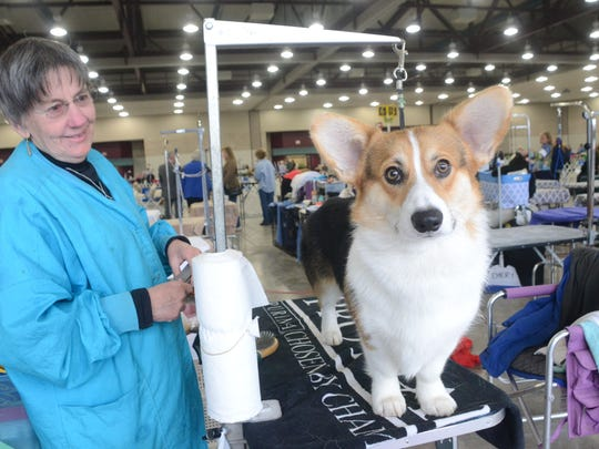 Kandee Bishea of Johnson City, Texas, grooms Gordy, a Pembrook Welsh Corgi, at the fifth annual Mardi Gras Cluster Dog Show on Friday in Alexandria.