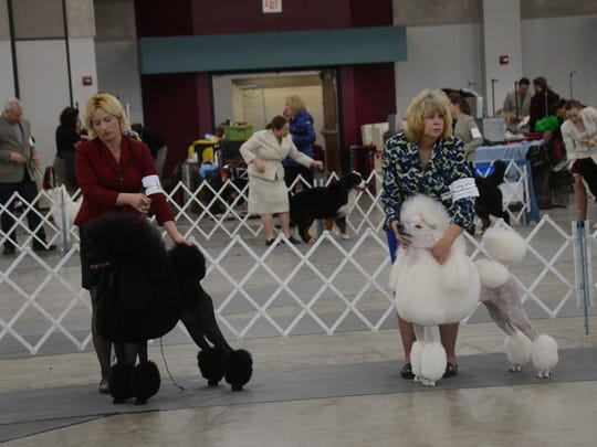 Shawn Clute (left) shows Faith while Betty Brown shows Cloude, both Standard Poodles during a judging event at the Mardi Gras Cluster Dog Show on Friday in the Alexandria Riverfront Center.