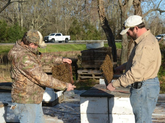 Ricky Bordelon (left) and his son Joey Bordelon look for the queen of a hive. Both are bee keepers in Moreauville. Ricky Bordelon and his wife Peggy Bordelon run the Avoyelles Honey Company while Joey Bordelon has his own honey business, Bordelon Apiaries. Another son, Jeremy Bordelon owns Bordelon's Honey Company. The State of Louisiana wants to purchase the area of land where the Bordelons raise bees in order to expand a road. Several buidlings on the property would be demolished. They were offered about $4,500 for the land.