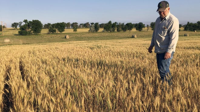Farmers interested in purchasing wheat or oat insurance should speak with an Extension agent and decide on the type of policy to purchase, coverage level and insurance units.