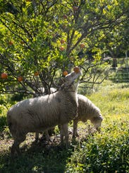 Sheep at Echo graze under an orange tree on Tuesday,