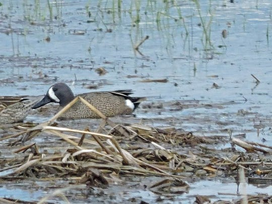 """The C.D. """"Buzz"""" Besadny Fish and Wildlife area provides important habitat for the disappearing blue-winger teal."""