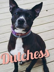 Dutchess is an adult, spayed-female pit bull terrier.
