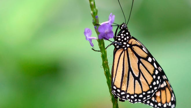 A Monarch butterfly is pictured at a butterfly farm in the Chapultepec Zoo in Mexico City on April 7, 2017.