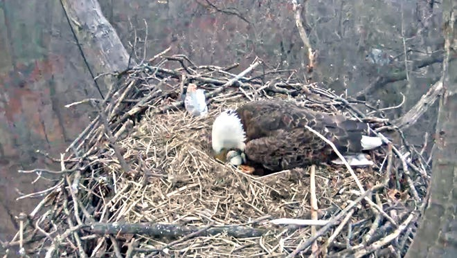 Experts put forth a number of reasons why the first eaglet borh to the Hanover eagles did not survive.