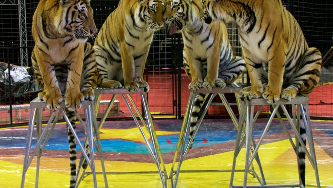 Tigers will be on display when the Shrine circus comes to town for two shows on May 30.
