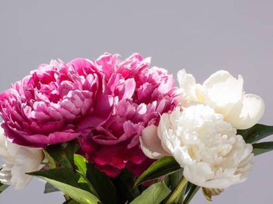 Peonies are one of the most loved spring flowers. In the Midwest they bloom in late May until mid-June.