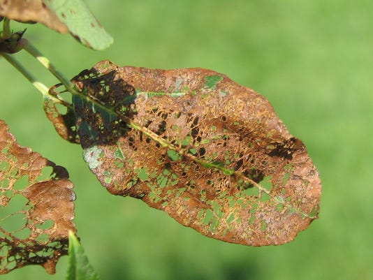 07-07-2014 Japanese beetle damage.JPG