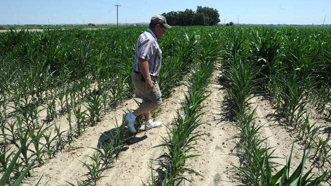 Northern Colorado farmer Bob Kraft walks through a section of one of his corn fields affected by heat and drought during a 2012 drought.