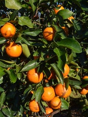 Sugar Belles ripen at South Naples Citrus Grove.